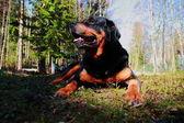 Rottweiler — Stock Photo