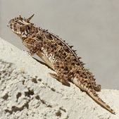 A Texas Horned Lizard Against a Stucco Wall — Stock Photo