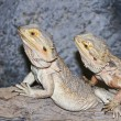 A Pogona Pair, Commonly Known as Bearded Dragons — Stock Photo #11266118
