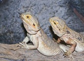 A Pogona Pair, Commonly Known as Bearded Dragons — Stock Photo