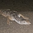 A Desert Monitor Lizard in the Sand — Stock Photo #11310685