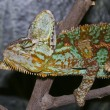 Veiled Chameleon Reaches for Next Branch — Stock Photo #11331127