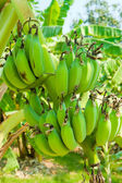 Banana bunch on tree — Stock Photo