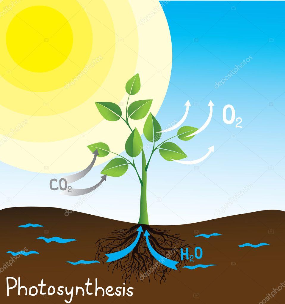 Photosynthesis Vector Image Stock Vector 169 Nikitinaolga