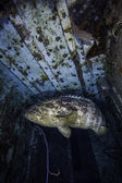 Goliath Grouper in the Spiegel Grove in Key Largo, Florida — Stockfoto