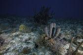 Koraal sponzen onderwater in key largo, florida — Stockfoto