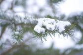 Fir-tree in snow — Stock Photo