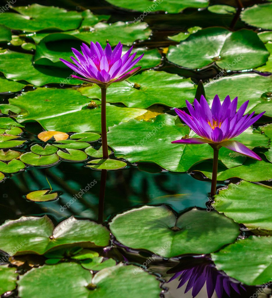 Waterlilies on the lake — Stock Photo #11073160