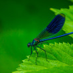 Постер, плакат: Dragonfly Calopteryx splendens