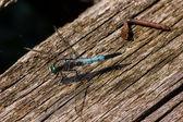Dragonfly - Libellula depressa — Stock Photo