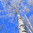 Foto de Stock  : Birch against blue sky in winter afternoon