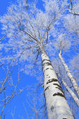 Birch against the blue sky in the winter afternoon — Stock Photo