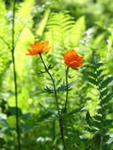 Trollius asiaticus — Stock Photo