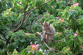 Monkey on a blossoming acacia — Stock Photo