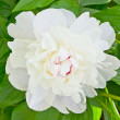Close-up of white peony - Stock Photo