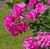 Flor peonía rosa grande — Foto de Stock