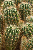 Farm producing a wealth of cactus species — Stock Photo