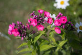 Beautiful pink flowers — Stockfoto