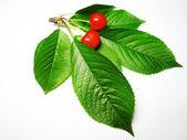 A cherry sprig — Stock Photo