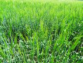 Field , sown grain-crops — Stock Photo