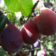 Stock Photo: Plum sprig