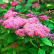 Spirea — Stock Photo