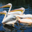 Three pelicans in the lake - Stock Photo