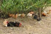 法国家禽养殖中 brueil en vexin — 图库照片