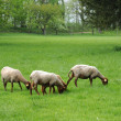 France, sheeps in the park of Théméricourt — Stock Photo