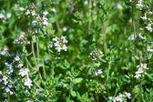 Fresh thyme herbs — Stock Photo