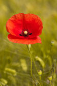 Red poppy background green wheat — Stock Photo