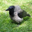 Stock Photo: Wild Crow