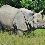 ������, ������: Rhinoceros Confronting Danger