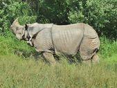 Rhinoceros smelling danger — Stock Photo
