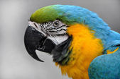 Close-up Blue-and-yellow Macaw Ara ararauna head — Stock Photo
