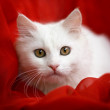 Portrait of a white cat — Stock Photo