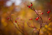 Macro of Briar branch — Stock Photo