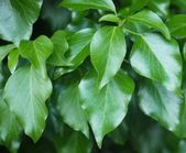 Green shiny leafs — Stock Photo