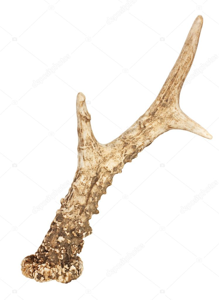 Single Roe Deer Antler isolated on white background with clipping path  Stock Photo #11780947