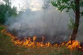 松の森で火が燃える — ストック写真