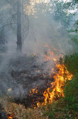 Fire burning in a pine forest — Stock Photo