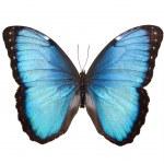 borboleta isolada no branco — Foto Stock