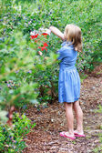 Blonde Girl Picking Blueberries — Stock Photo