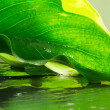 Calla leaf over wet ardesia — Stock Photo