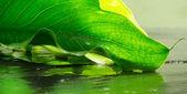 Calla leaf over wet ardesia — Stock Photo