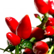 Red hot chili plant — Stockfoto
