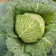 Royalty-Free Stock Photo: Savoy cabbage
