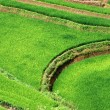 Rice fields in Vietnam — Stock Photo