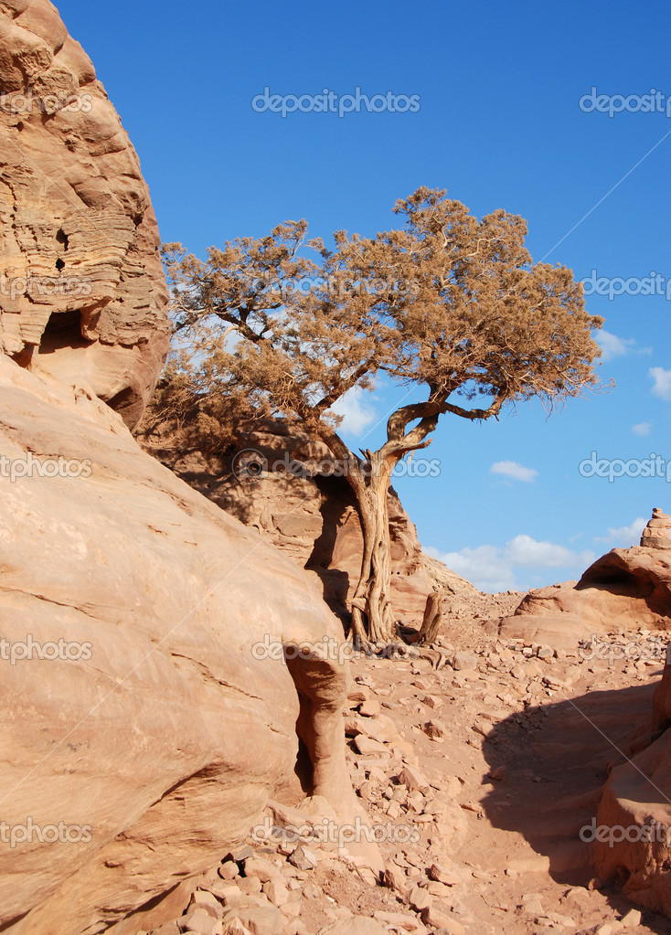 Tree in the desert. The photo is from the rock of Petra in Jordan — Stock Photo #11152507