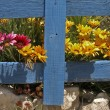 Stock Photo: Gazanias behind wooden frame